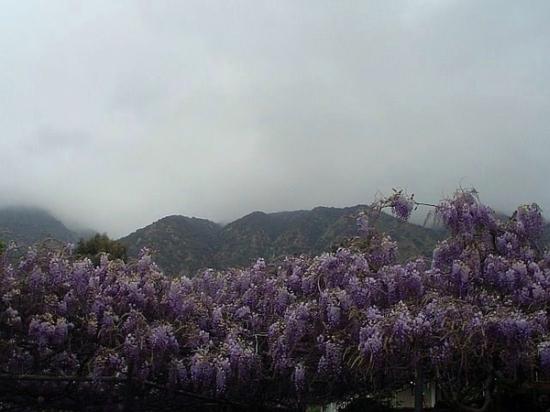 wistaria vine5