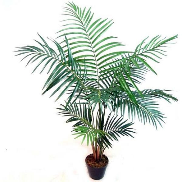 BF0640E_4_feet_Mini_Areca_Palm
