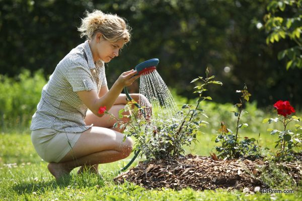 Woman watering rose plant with watering pot