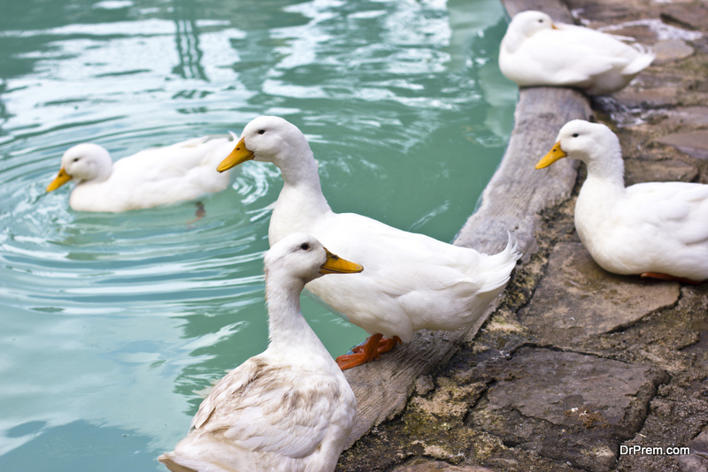 Benefits of duck farming in India