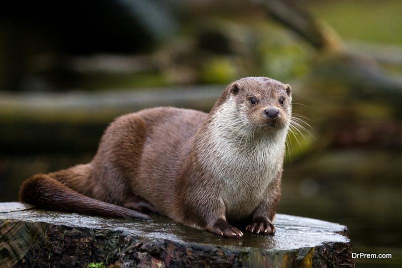 Japanese-river-otter