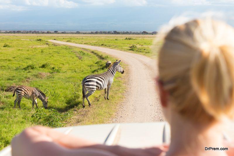 herds of zebras