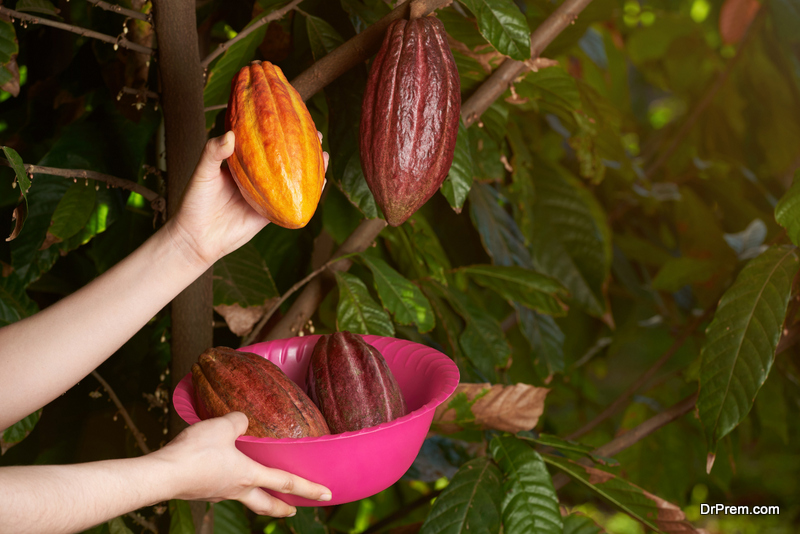 Is-growing-cocoa-in-India-a-profitable-business