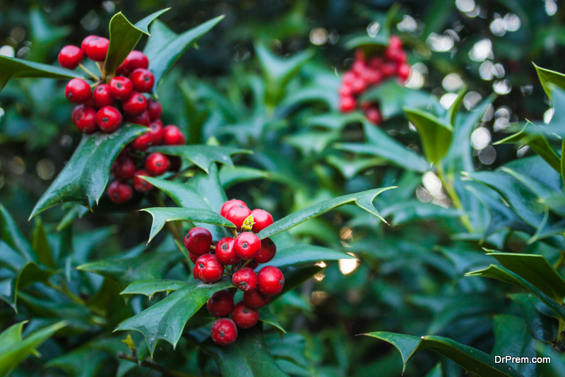 Evergreen-Holly