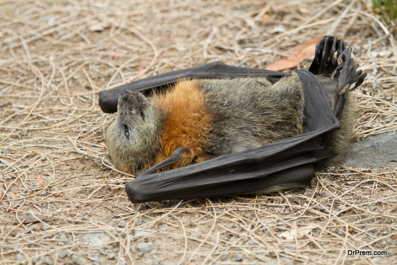 Devastating effect of heat wave on animal lives: The devastating heat wave this year in Australia cost lives of thousands of animals apart from causing extreme distress to human beings. Nearly 4000 flying foxes died last November owing to extreme heat. The extreme weather is also responsible for the death of hundreds and thousands of fish in New South Wales. Bats literally dropped dead from the trees unable to bear 40C plus weather temperature. Carcasses of wild horses stretched for about 100 meters. Drying of water resources caused this death and destrcution.