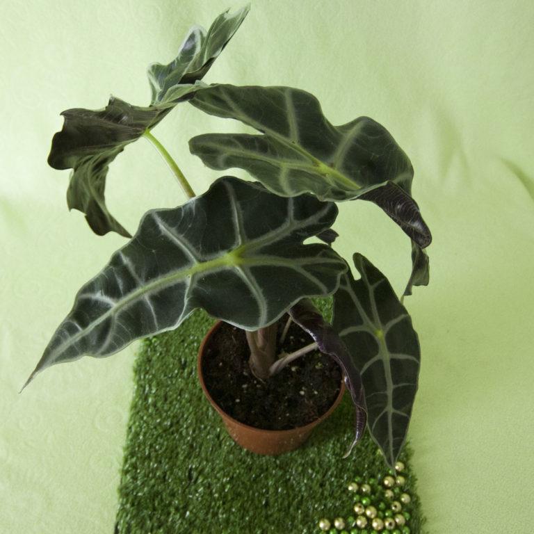Глориоза тропическая экзотика на подоконнике
