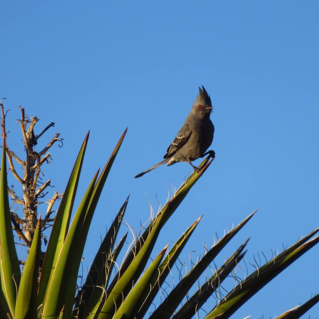 Female Phaianopepla guards nest