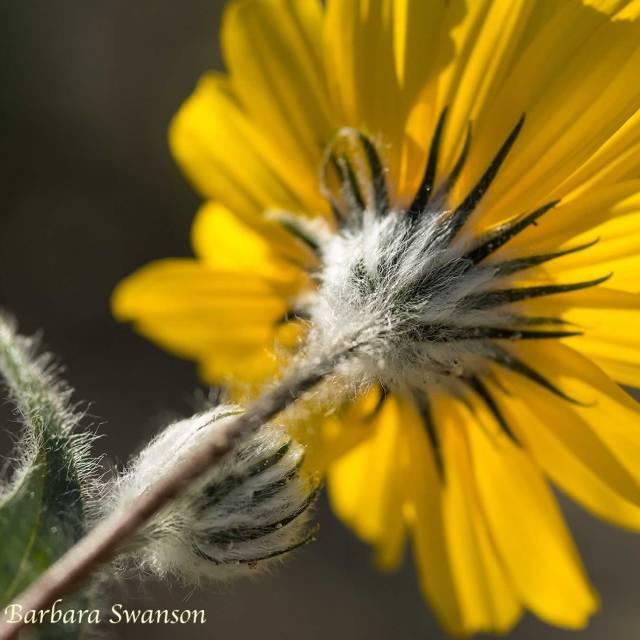 Underside of a Desert Sunflower