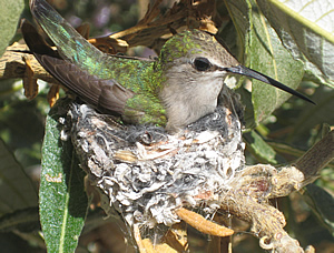 Hummingbird in Indian Canyon