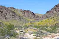"""""""Painted"""" Canyon bloom area"""