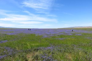 Lake of phacelia