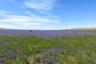Lake of phacelia