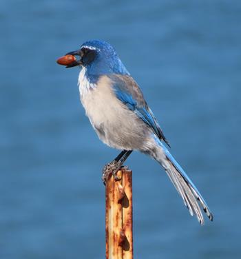 A blue jay holds an acorn