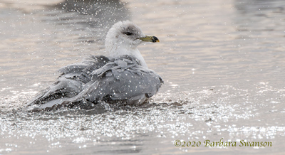 Ring-billed Gull bathing