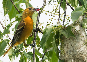 An oriole with jelly comes to the nest
