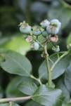 BlueberriesRipening