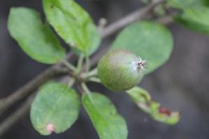 AppleRipening