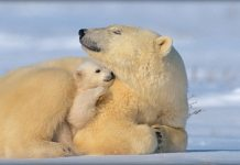 polar bears keeping warm