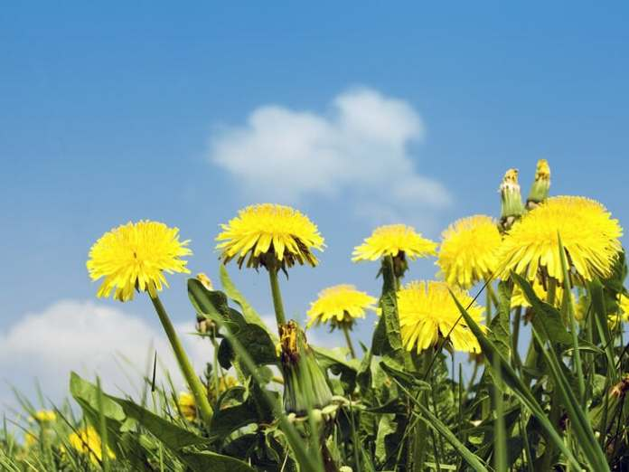 how to get rid of dandelions without chemicals