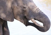 African Elephant, Loxodonta africana - up close and personal in Mapungubwe