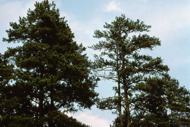 Pine tree infected with Phytophthora cinnamomi