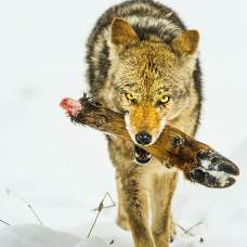 Coyote (Canis latrans) feeding on Elk foot from a previous kill.