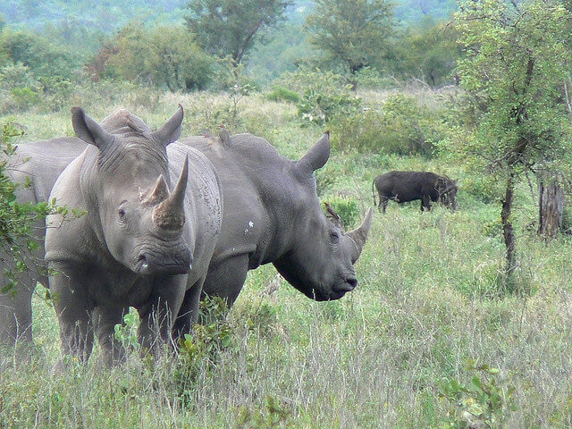 a pair of rhinos at Kruger National Park