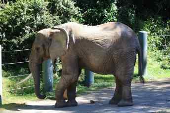 Woodland Park Zoo Elephant, Photo by Laura Smith