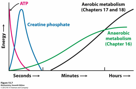 what-is-creatine-phospate