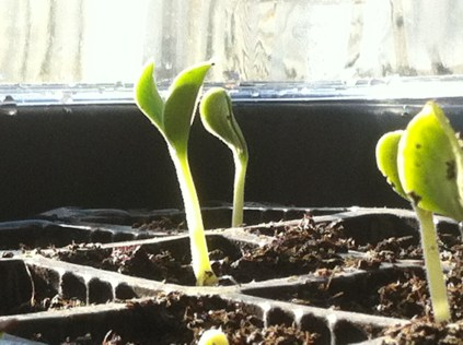 Squash seed sprouting