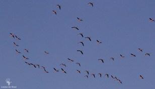 Flying flamingos at Rocherpan Nature Reserve