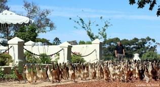 Vergenoegd Indian Runner ducks to Vergenoegd vineyards