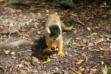 Squirrel monkey Monkeyland