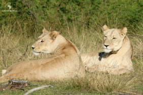 Gondwana Game Reserve lionesses from Shamwari, Garden Route