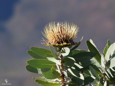 Waboom Protea in bloom, Bastiaanskloof Reserve.