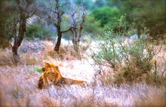 African Lion photo by Green Global Travel
