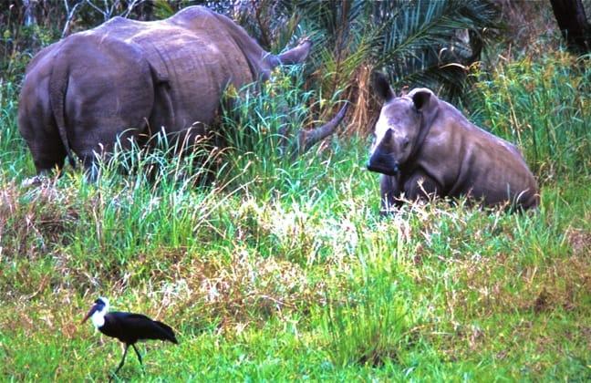 White Rhino Mama & Baby, South Africa