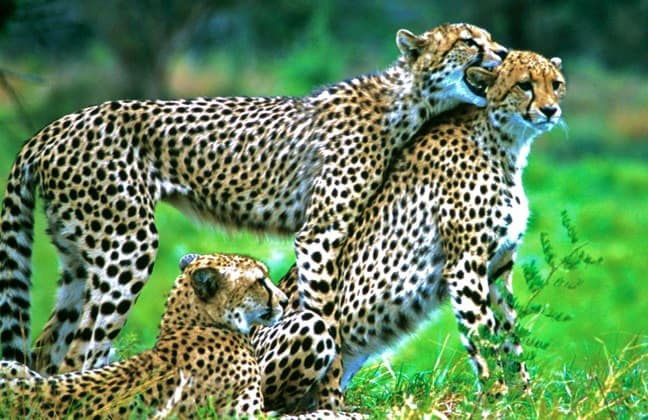 Cheetah Cubs in South Africa