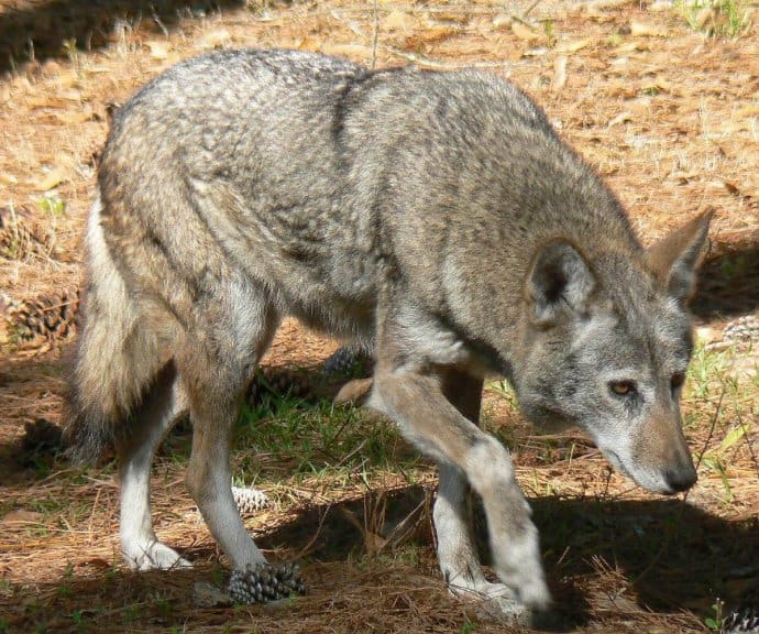 Unique things to do in asheville nc - Visit Red Wolves
