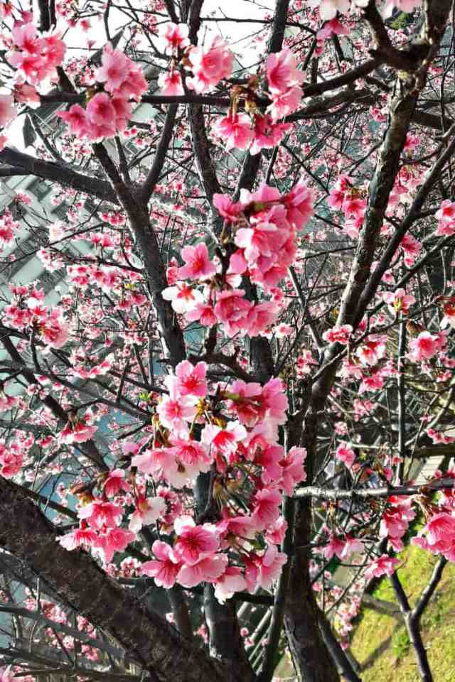 Cherry Blossoms in Taiwan