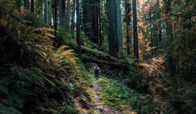 Hiker dwarfed by redwood trees in Redwood National and State Parks, home to universally important ecosystems treasured by UNESCO