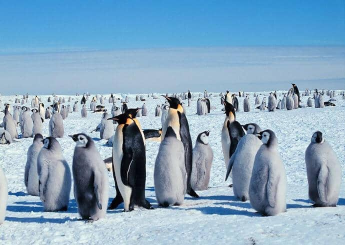Adult and Baby Emperor Penguins