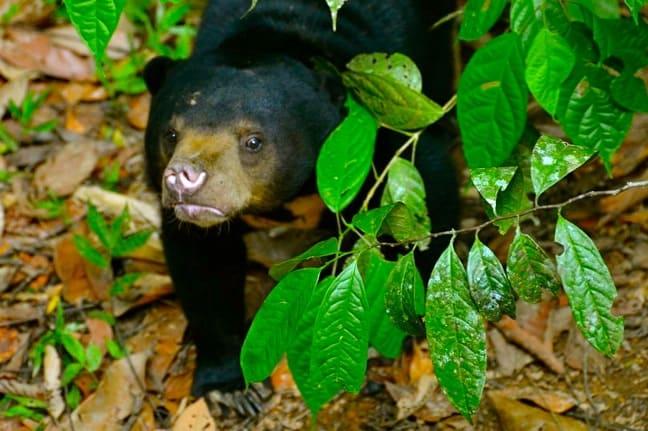 Shy Sun Bear Cub at Borneo Sun Bear Conservation Centre