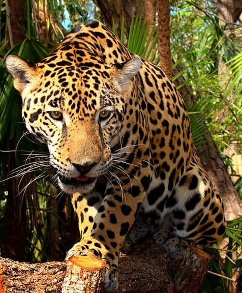 Junior-Jaguar-Belize-Zoo by Bjørn Christian Tørrissen