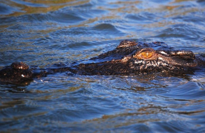 Saltwater Crocodile in Kakadu National Park, one of 10 Australian National Parks for Your World Travel Bucket List