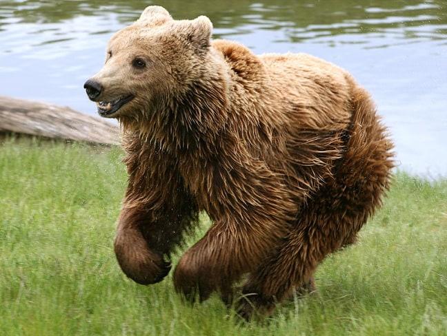 Cantabrian Brown Bear in Picos de Europa National Park, Spain