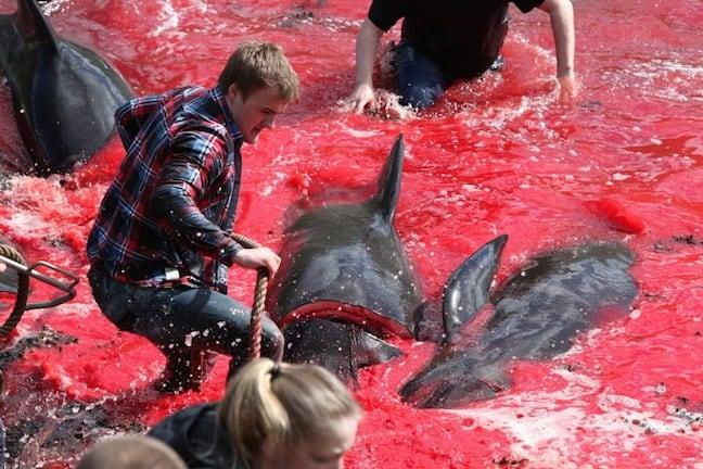 Faroe_Islands_Whale_Hunting
