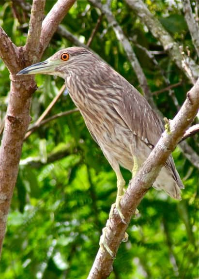 Black Crowned Night Heron amazon