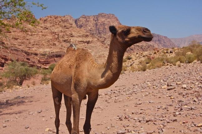 Camel in Dana Biosphere Reserve, Jordan