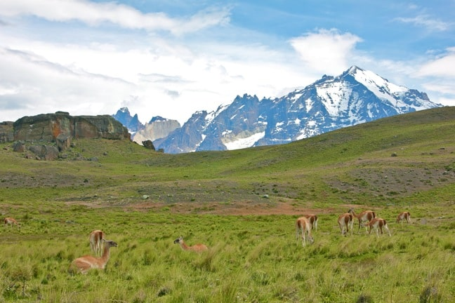 Guanaco Herd in Torres del Paine National Park, Chile